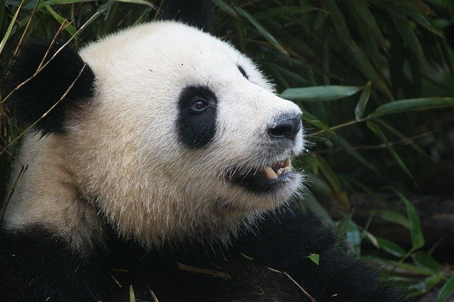 Confus Panda!